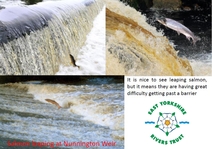 Salmon leaping River Derwent with new logo